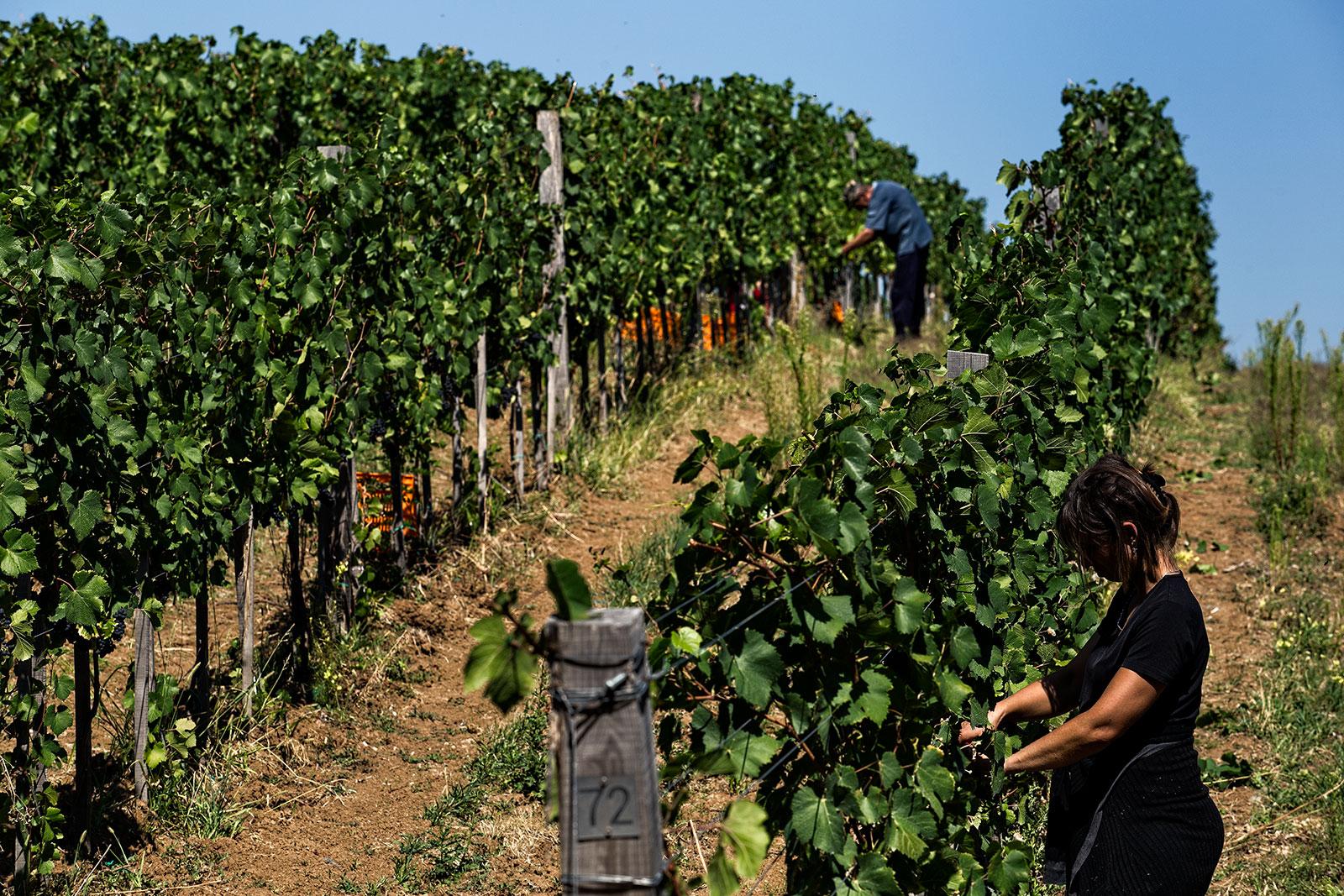 Vinarija Lastar Berba Vinograd