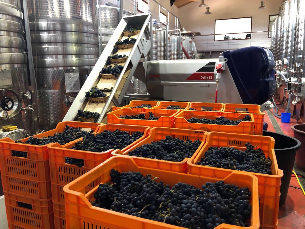 Lastar grozdje proizvodnja